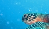 cook-islands-dive-turtle