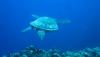 neuseeland-dive-turtle