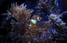 neuseeland-tauchen-clown-fisch
