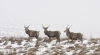 highland-deer-scotland-winter
